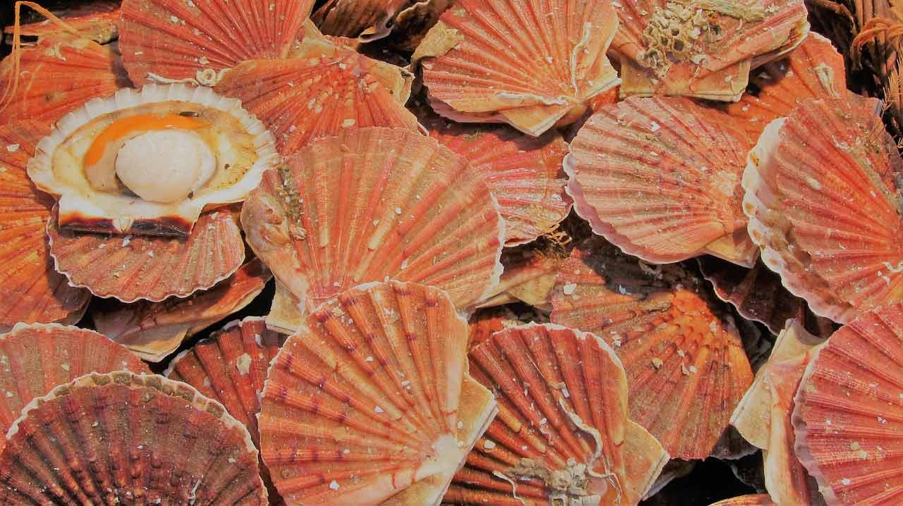poisson saison coquilles saint jacques