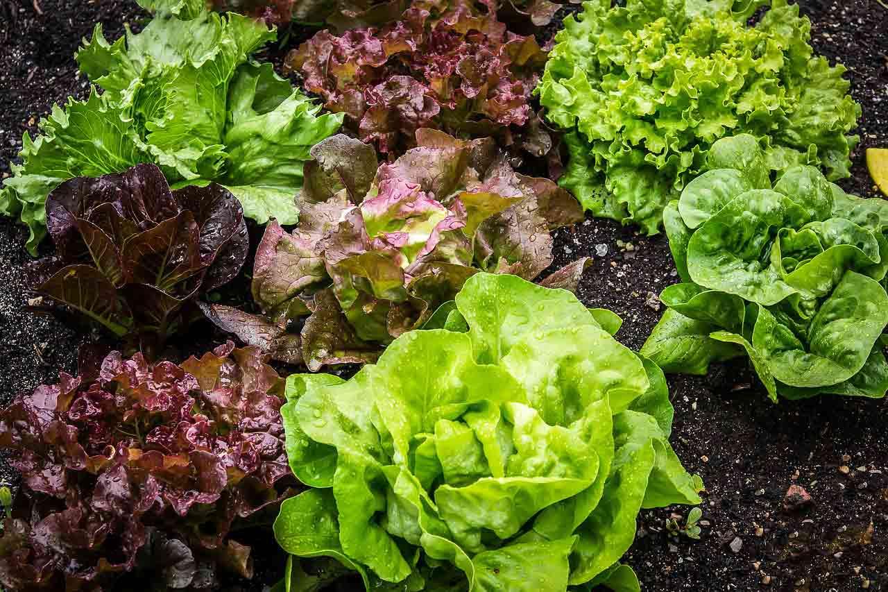salade composée variétés-salades